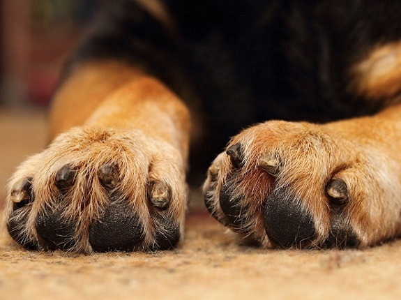 remove splinter in the paws with Epsom