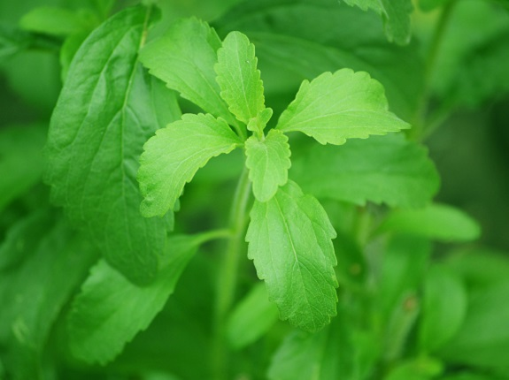 Stevia Is Actually a Plant