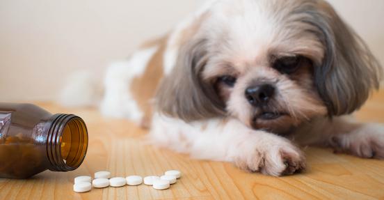 dog looking at pills