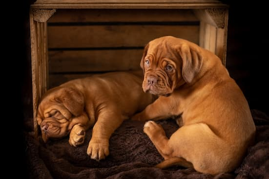 two brown puppies in a crate
