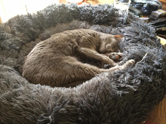 cat sleeping in its bed
